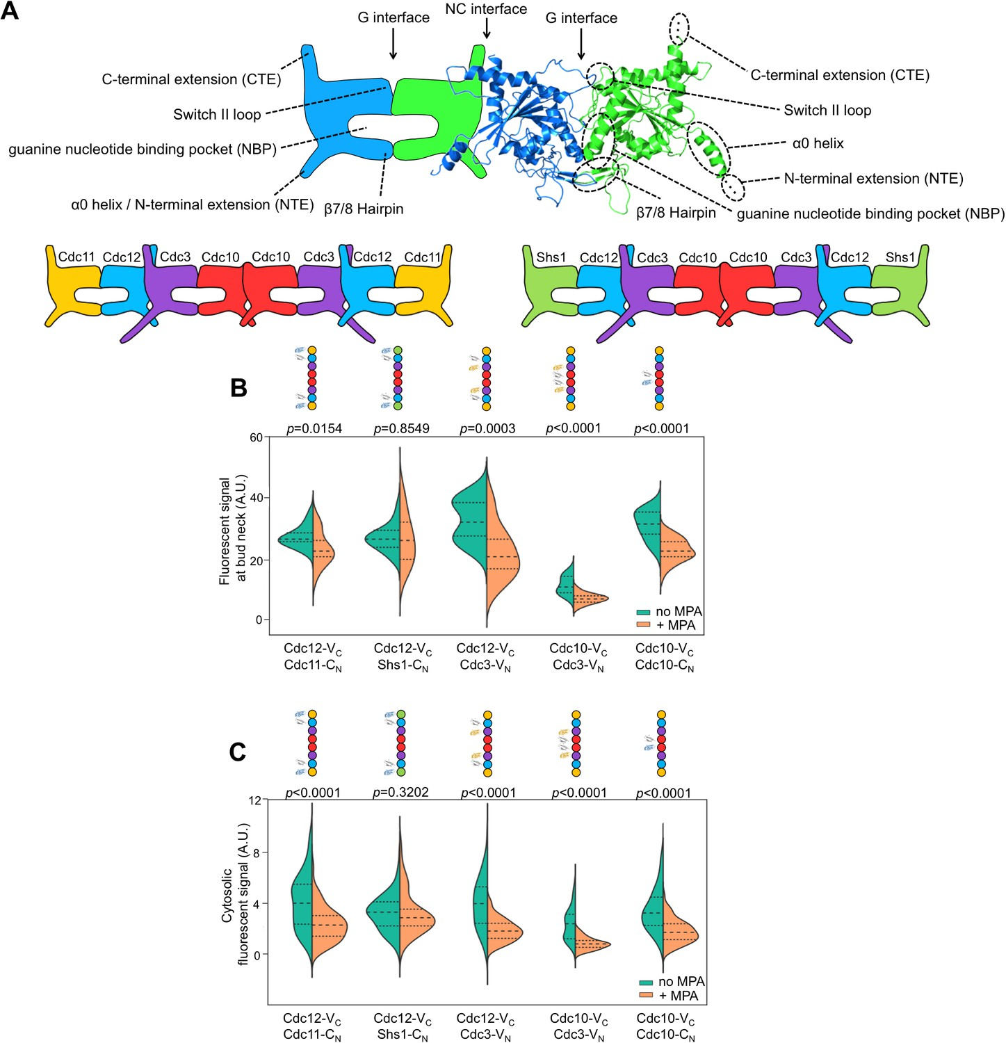 The step-wise pathway of septin hetero-octamer assembly in