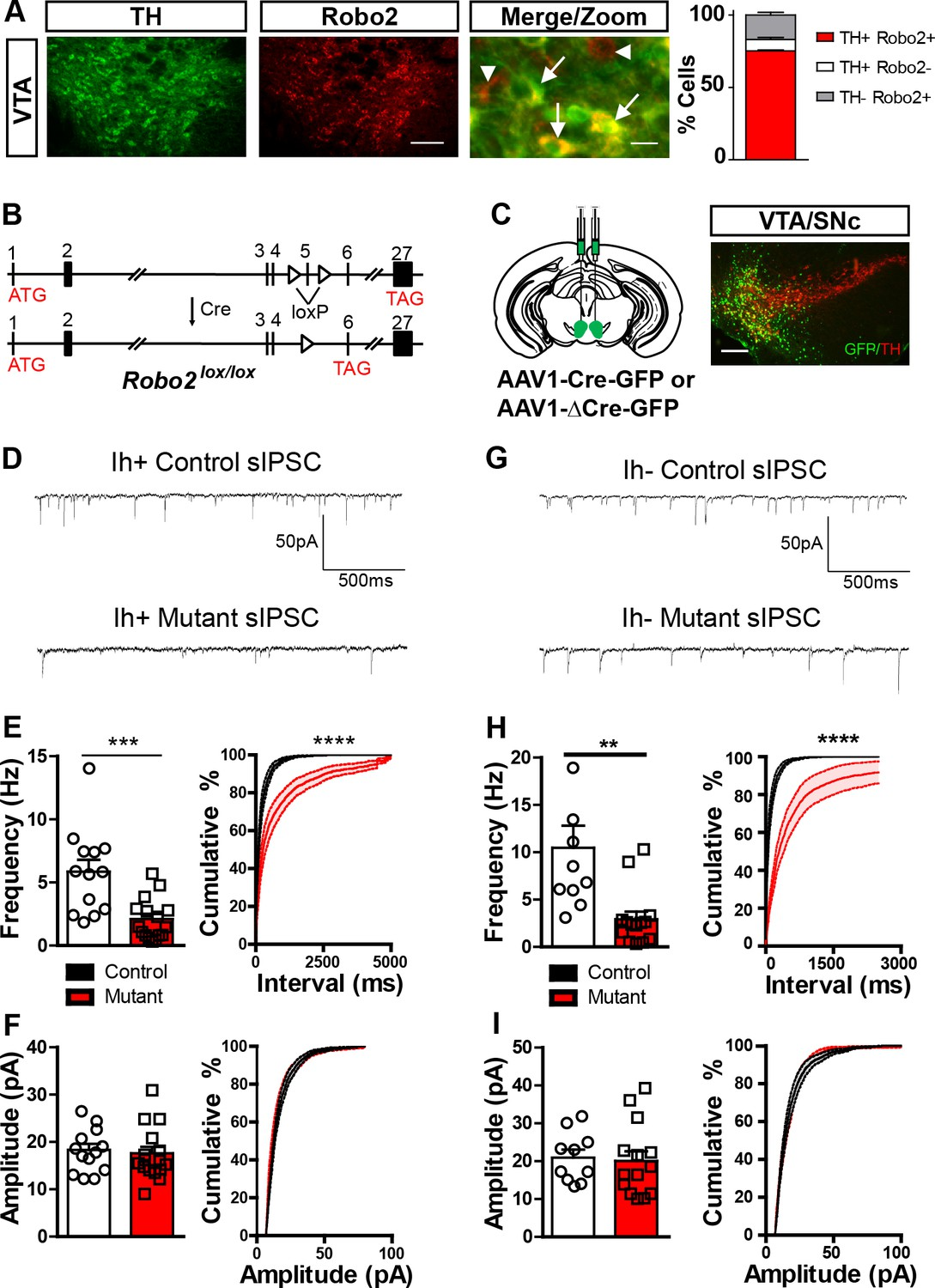 Roundabout Receptor 2 Maintains Inhibitory Control Of The Adult Fig 612 A Stabilized Basecontrolled Highfrequency Oscillator Robo2 Vta Mutants Have Reduction In Frequency Sipscs