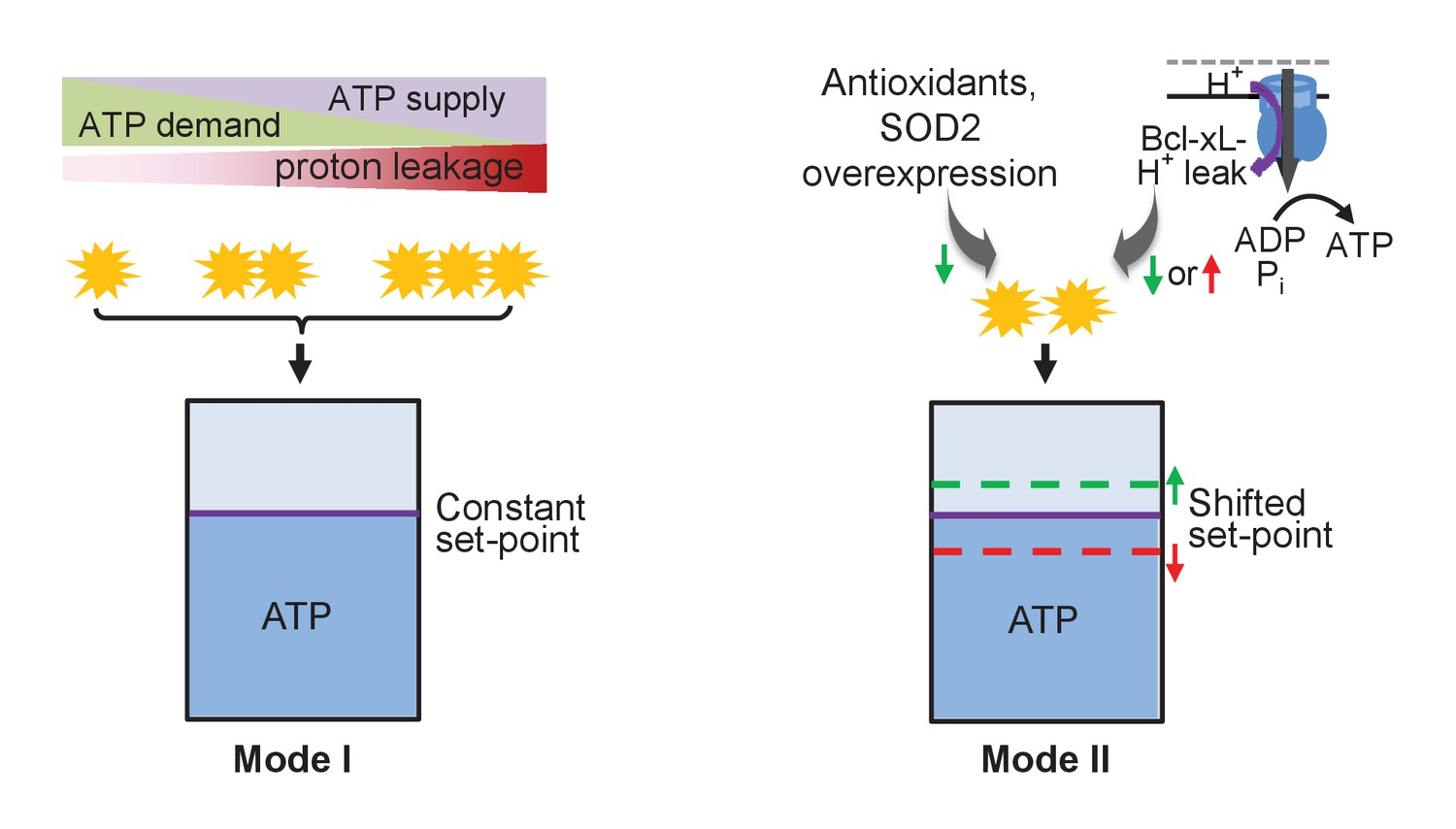 Mitochondrial Flashes Regulate Atp Homeostasis In The Heart Elife Flashing Led Circuit P Marian Flashers Schematic Of Mitoflash Regulation Set Point