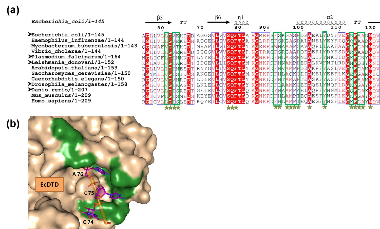Variations in the tRNA-binding site of DTD.