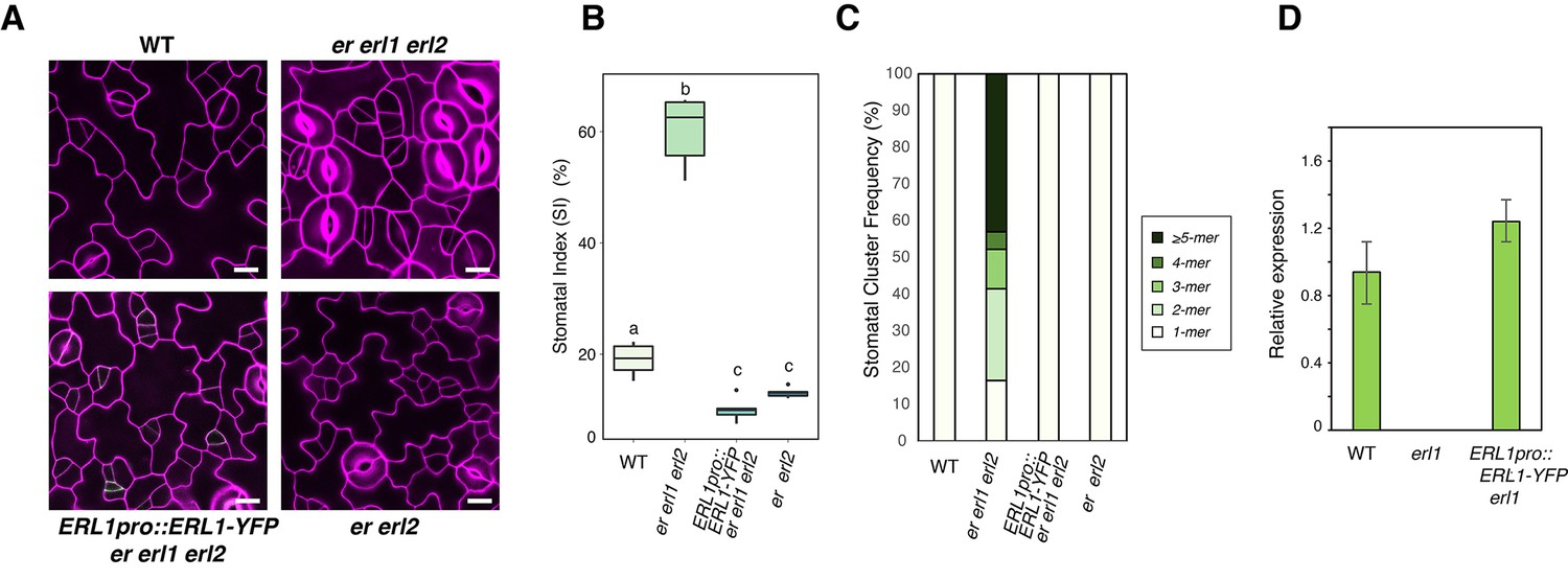 Autocrine Regulation Of Stomatal Differentiation Potential By Epf1 Bremis Switch Reversing Wiring Diagram Erl1proerl1 Yfp Is Functional