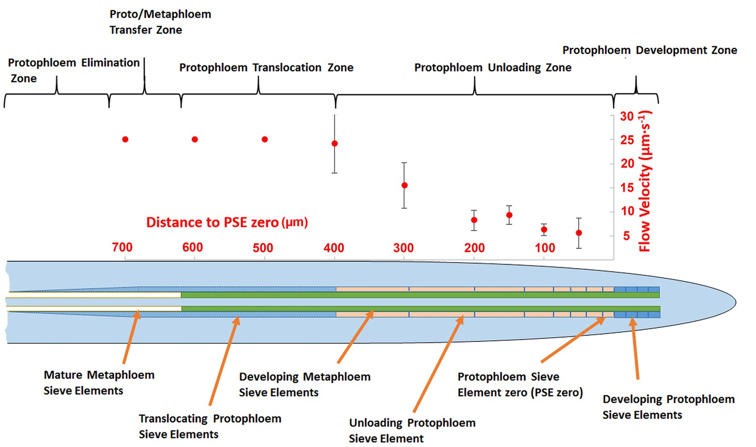 Phloem Unloading In Arabidopsis Roots Is Convective And Regulated By 2006 Pace Arrow Slide Out Wiring Diagram Schematic Illustrating The Organization Of Cells Specific Zones Root Tip