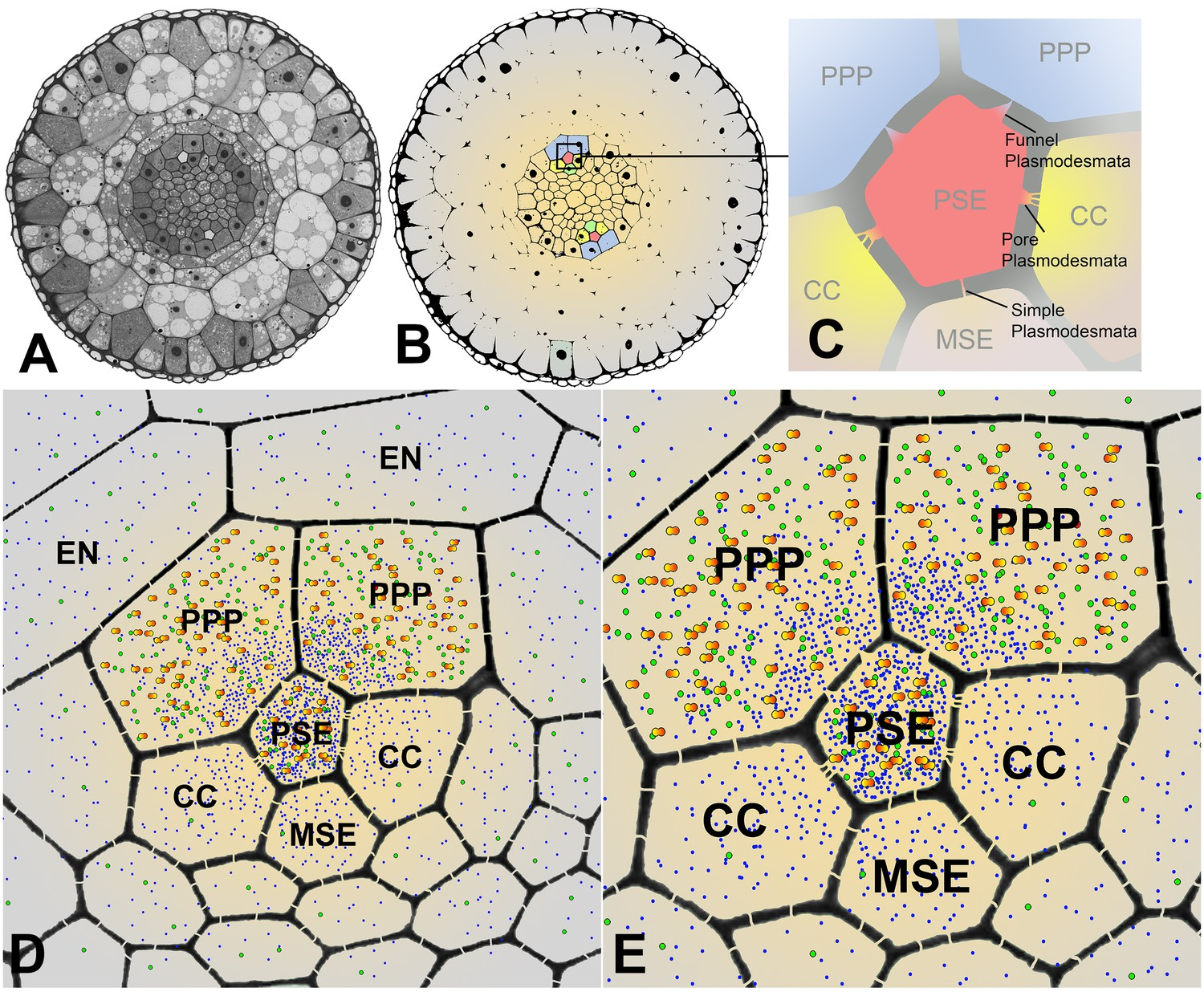 Phloem Unloading In Arabidopsis Roots Is Convective And Regulated By How To Cross Connect 66 Block Sectional Overviews Of The Showing Pd Connections Size Dependent Solutes Macromolecules
