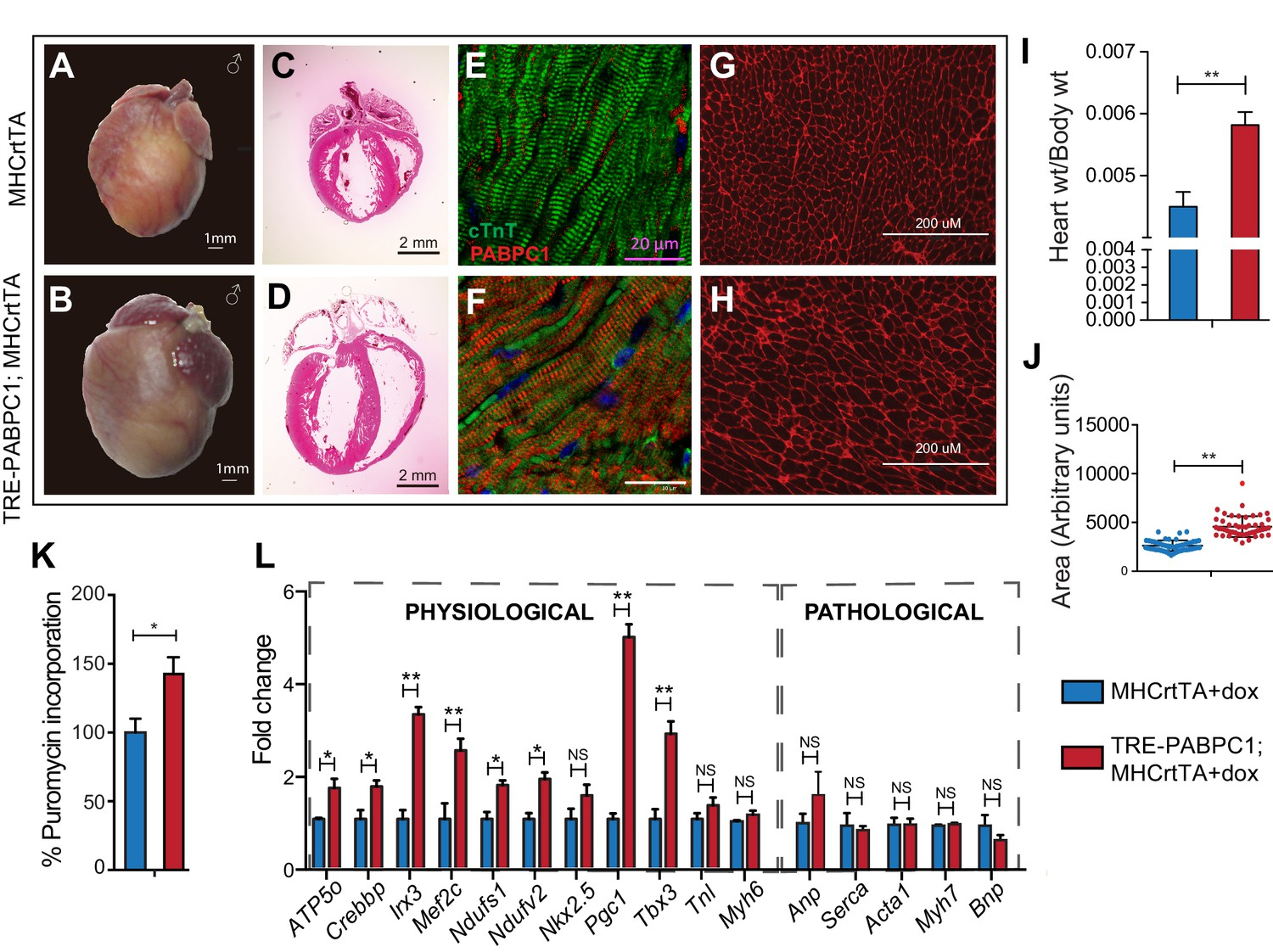Poly(A) tail length regulates PABPC1 expression to tune