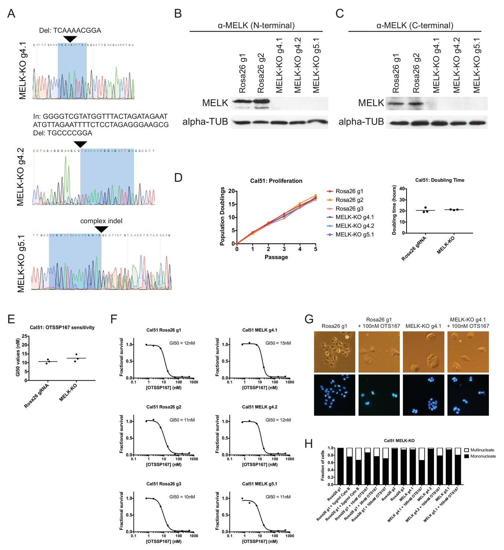 Crispr Cas9 Mutagenesis Invalidates A Putative Cancer Dependency Tt C Block Diagram Generation And Analysis Of Cal51 Melk Ko Cell Lines