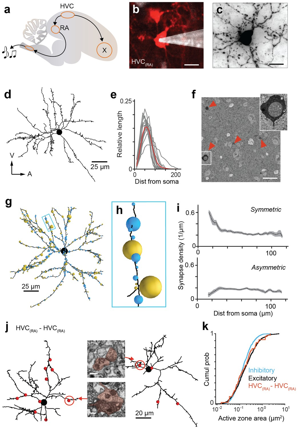 Em Connectomics Reveals Axonal Target Variation In A Sequence 89 Fire Bird 305 Wiring Diagram Analysis Of Synaptic Inputs Onto Hvcra Dendrites