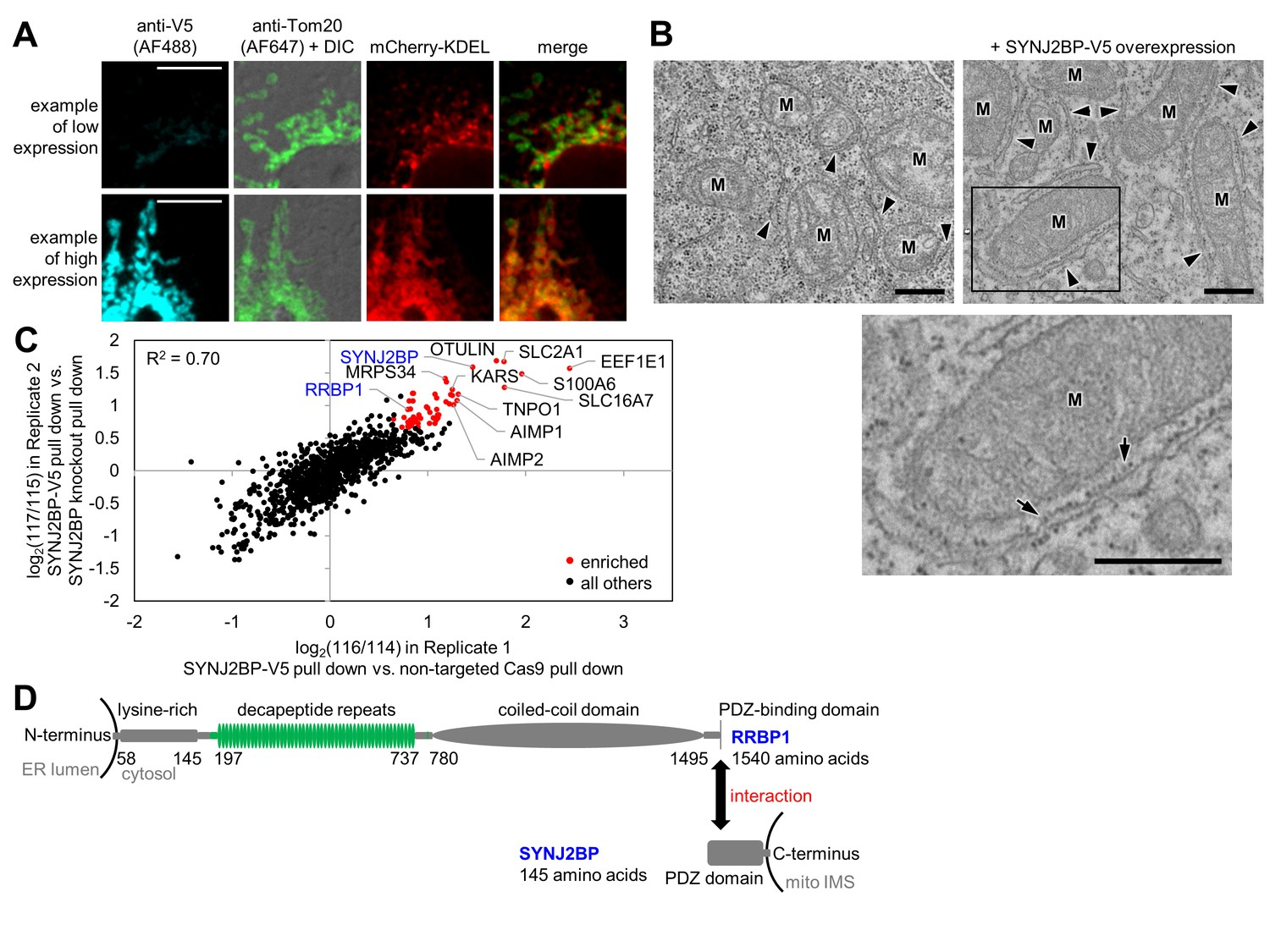 Proteomic Mapping Of Cytosol Facing Outer Mitochondrial And Er Atx Power Supply Restructuring Full Outage With Off Circuit Identification Synj2bp Rrbp1 As A Potential Mitochondria Tethering Complex