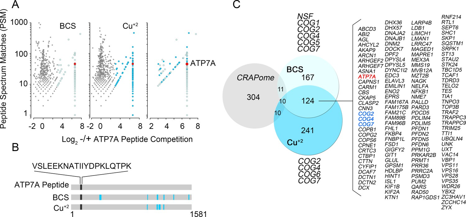 The Interactome Of Copper Transporter Atp7a Belongs To A Network Clifford 5 806x Wiring Diagram Identification Components By Mass Spectrometry