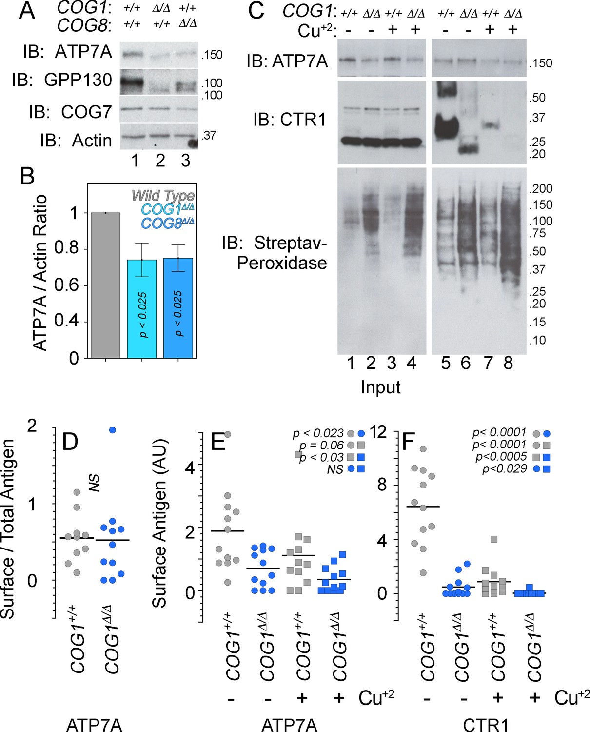 The interactome of the copper transporter ATP7A belongs to a network