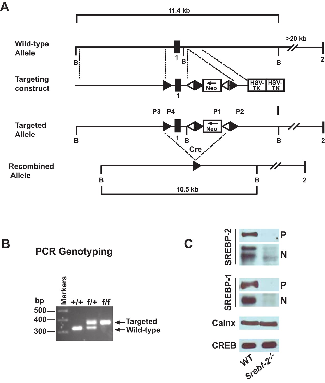 Expression of SREBP-1c Requires SREBP-2-mediated Generation