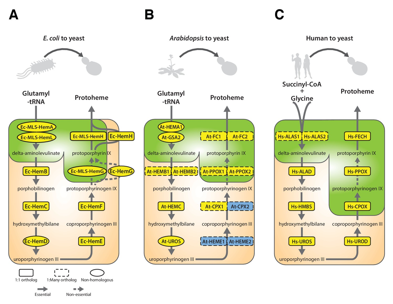 Systematic bacterialization of yeast genes identifies a near