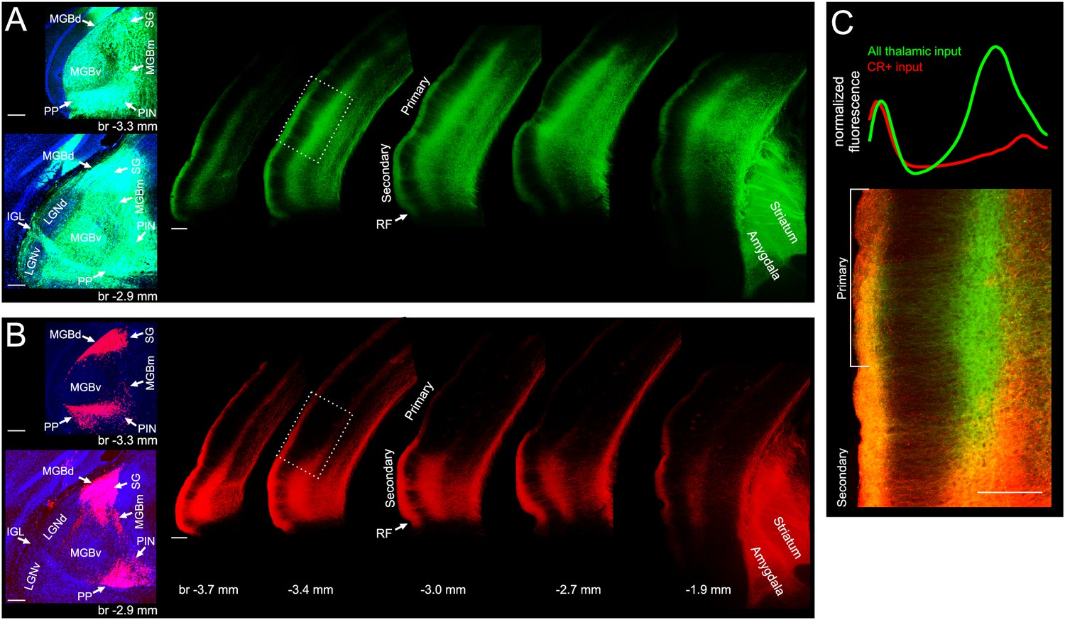 Thalamic Input To Auditory Cortex Is Locally Heterogeneous But