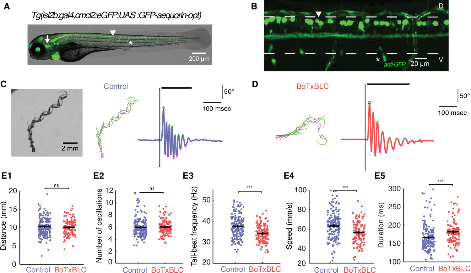 Mechanosensory Neurons Control The Timing Of Spinal Microcircuit Wire Color Code E1 Silencing Decreases Speed Locomotion