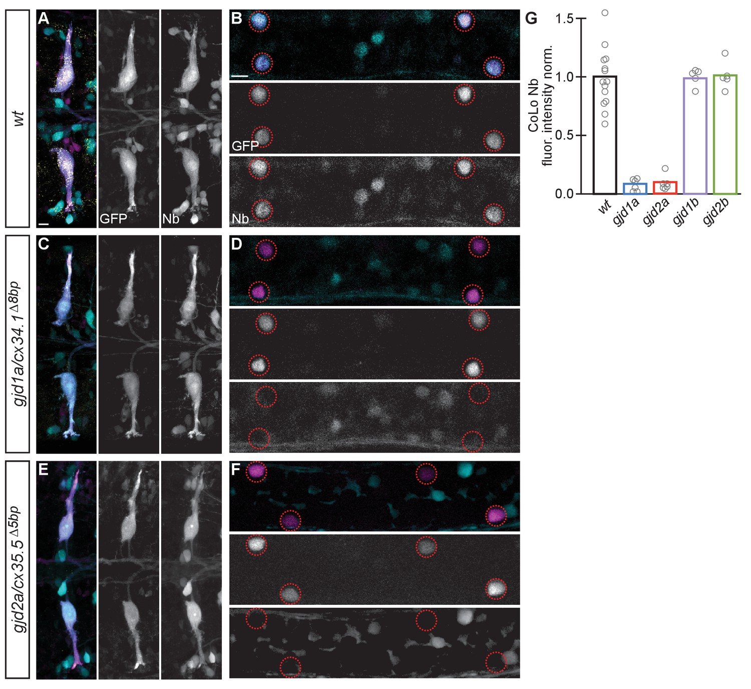 A Genetic Basis For Molecular Asymmetry At Vertebrate Electrical 555 Pin 4 Reset Behavior Test Circuit 1 Synapses Are Functionally Defective In Gjd1a Cx341 And Gjd2a Cx355 Mutants