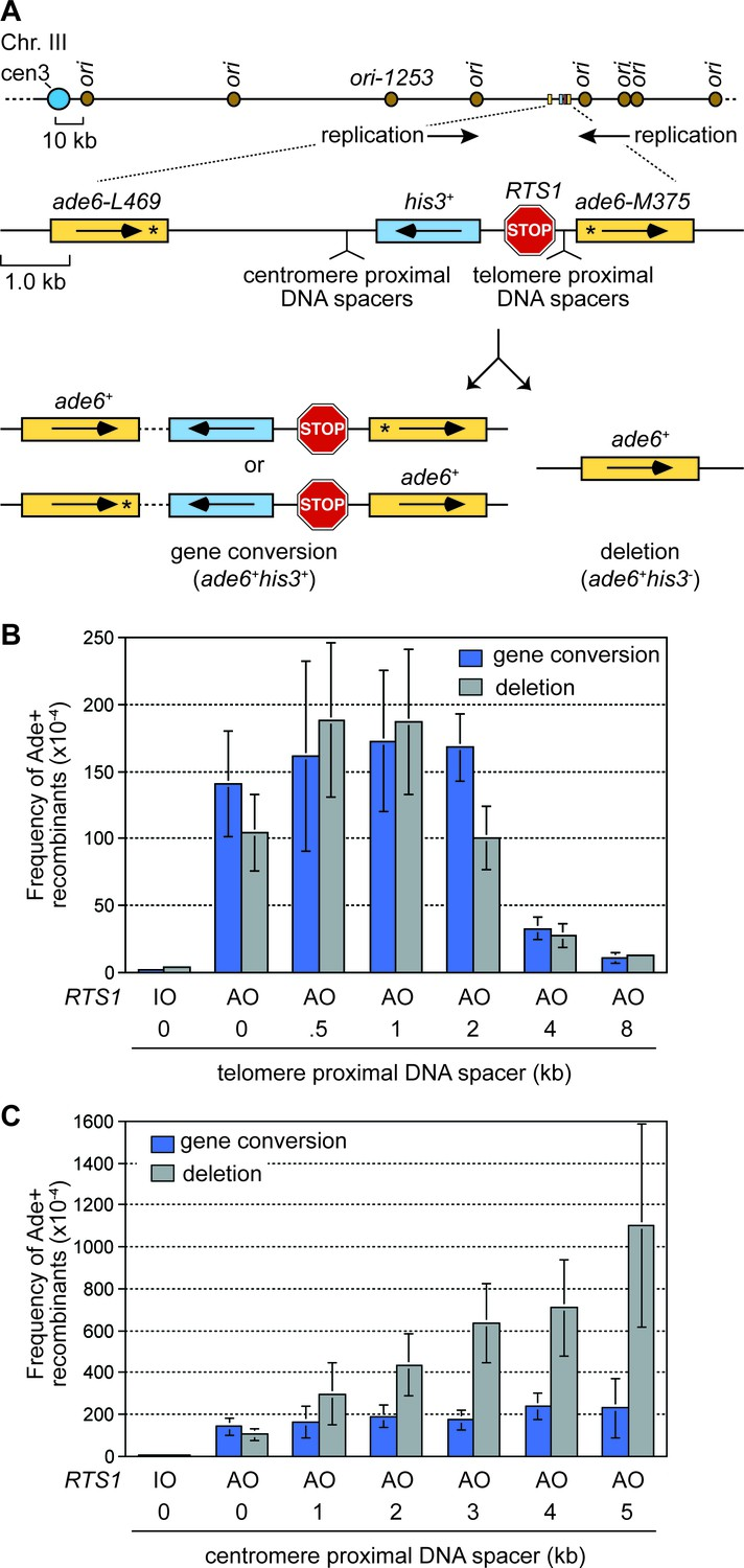 Inter Fork Strand Annealing Causes Genomic Deletions During