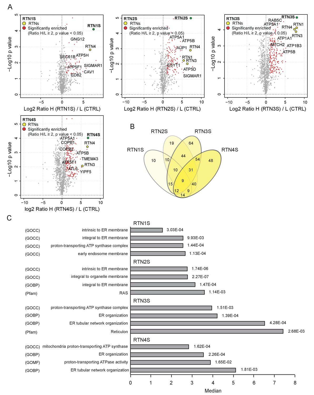 Full length RTN3 regulates turnover of tubular endoplasmic