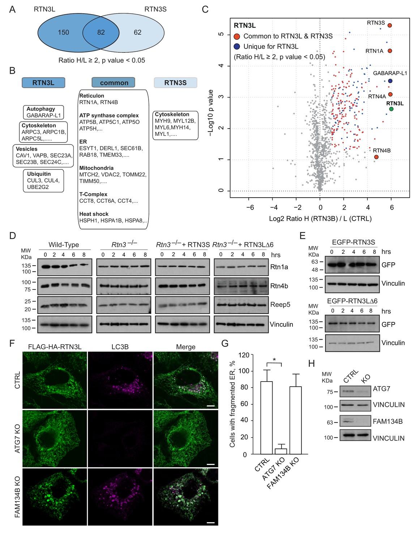 Full length RTN3 regulates turnover of tubular endoplasmic reticulum