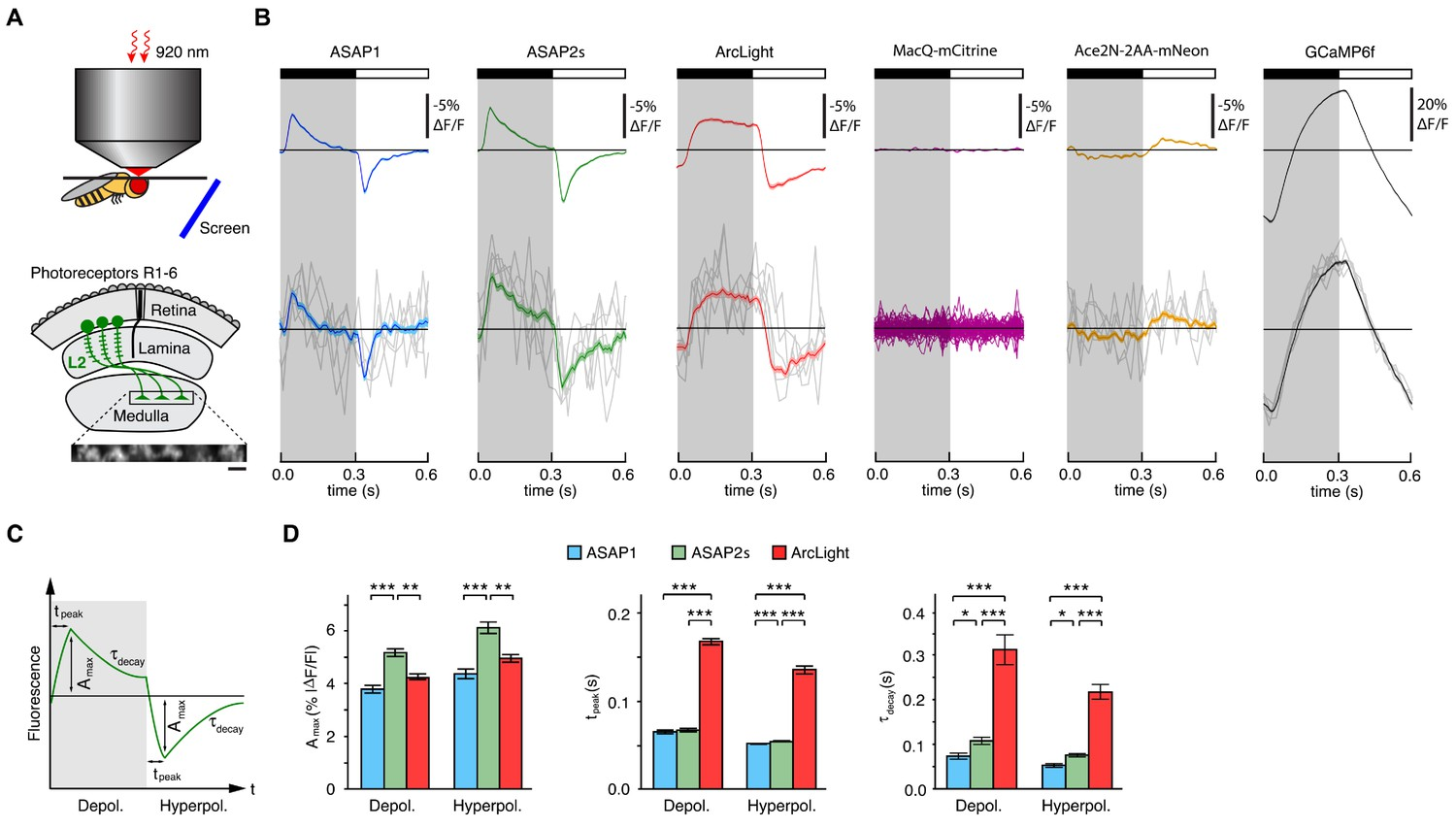 Fast Two Photon Imaging Of Subcellular Voltage Dynamics In Neuronal Fig 512 A Class B Circuit Constant Push Responses To Physiological Stimuli Drosophila