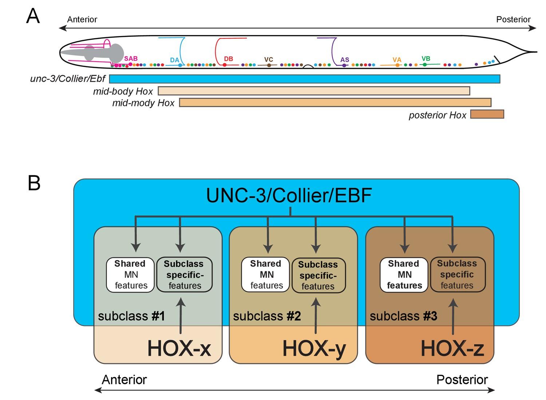 An intersectional gene regulatory strategy defines subclass ...