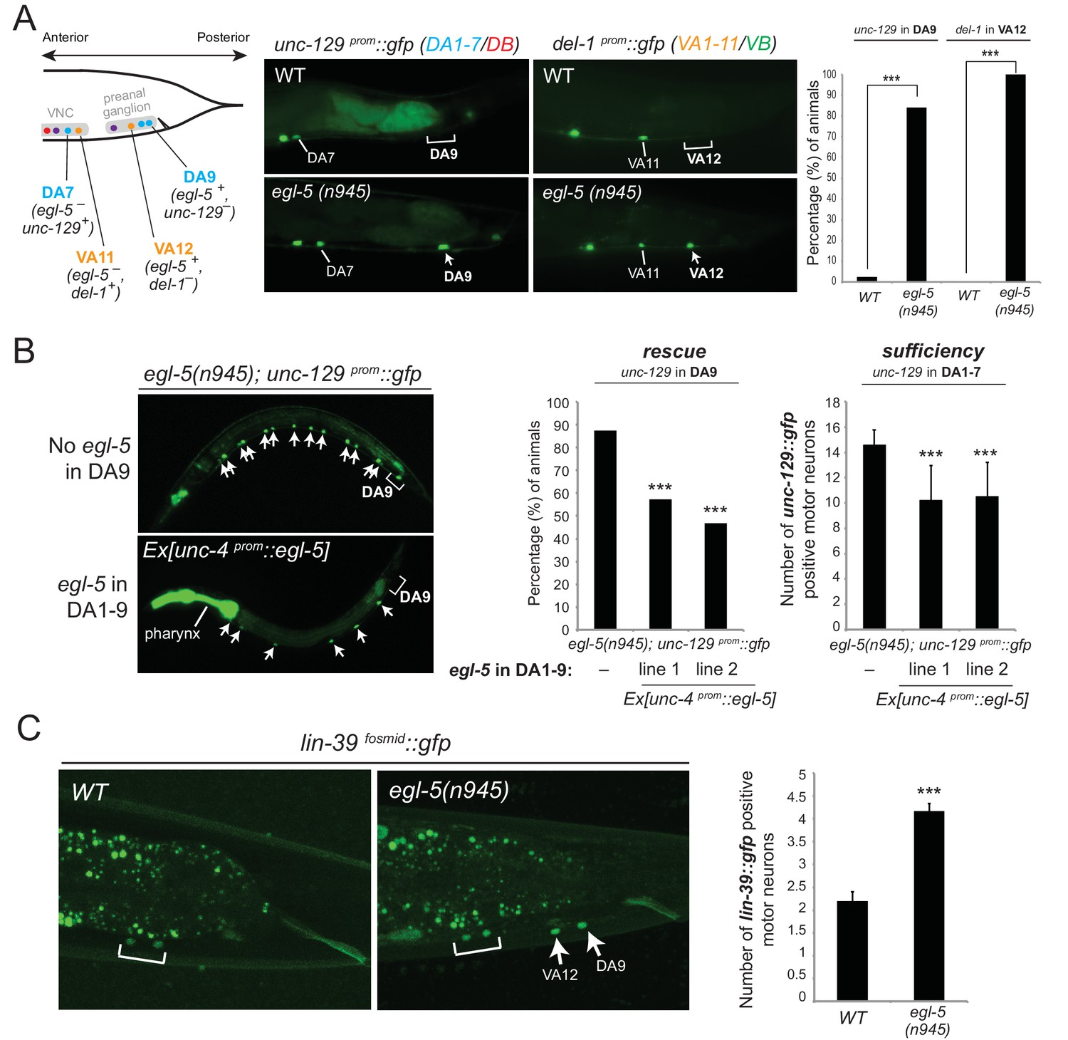 An Intersectional Gene Regulatory Strategy Defines Subclass Cambridge 302 Wiring Diagram Evidence For Homeotic Activities Of Egl 5 Abd B Hox9 Hox13 In Motor Neuron Subclasses A Schematic