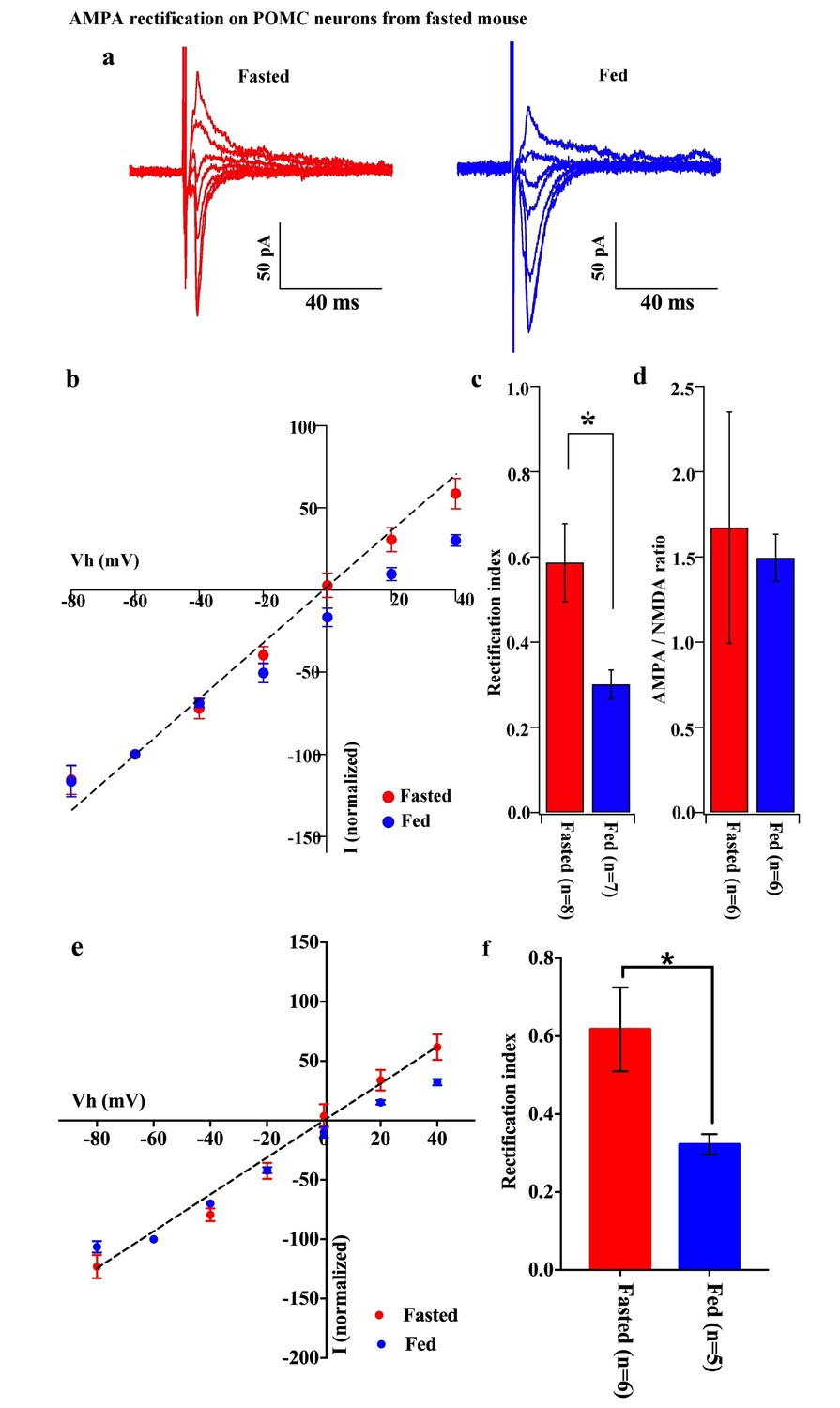 Plasticity Of Calcium Permeable Ampa Glutamate Receptors In Pro More Complete Details Both These Formats Rectifier Circuit Rectification On Pomc Neurons Disappeared But Nmda Ratio Unchanged By Fasting
