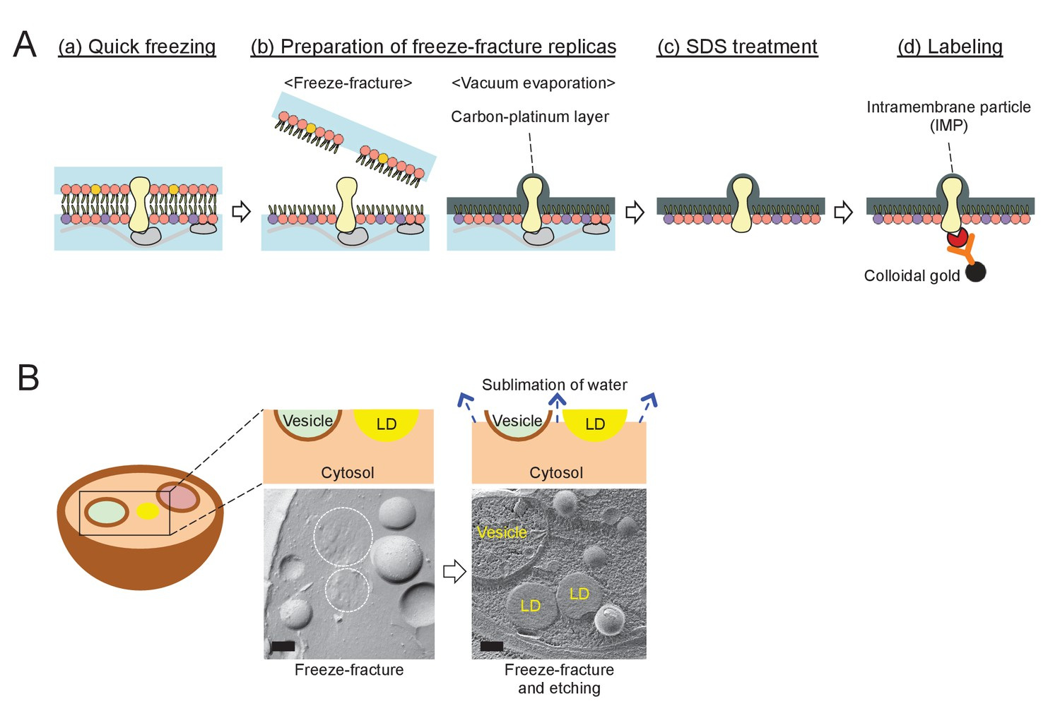 Niemann Pick Type C Proteins Promote Microautophagy By Expanding Vacuum Former Diagram The Procedure For Quick Freezing And Freeze Fracture Em