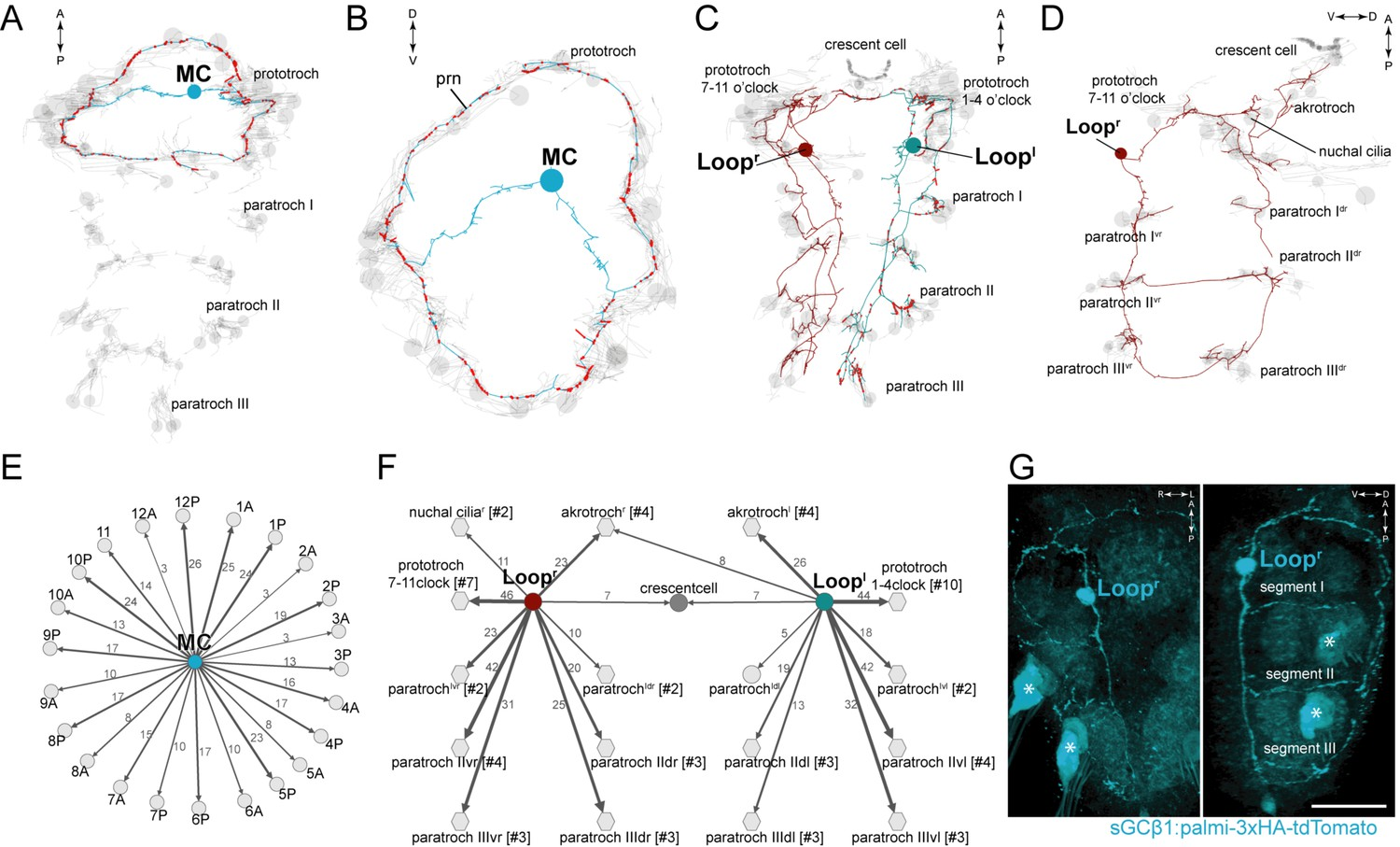 Ciliomotor Circuitry Underlying Whole Body Coordination Of Ciliary Aurora Ups Circuit Diagram Anatomy And Connectivity Biaxonal Cholinergic Neurons