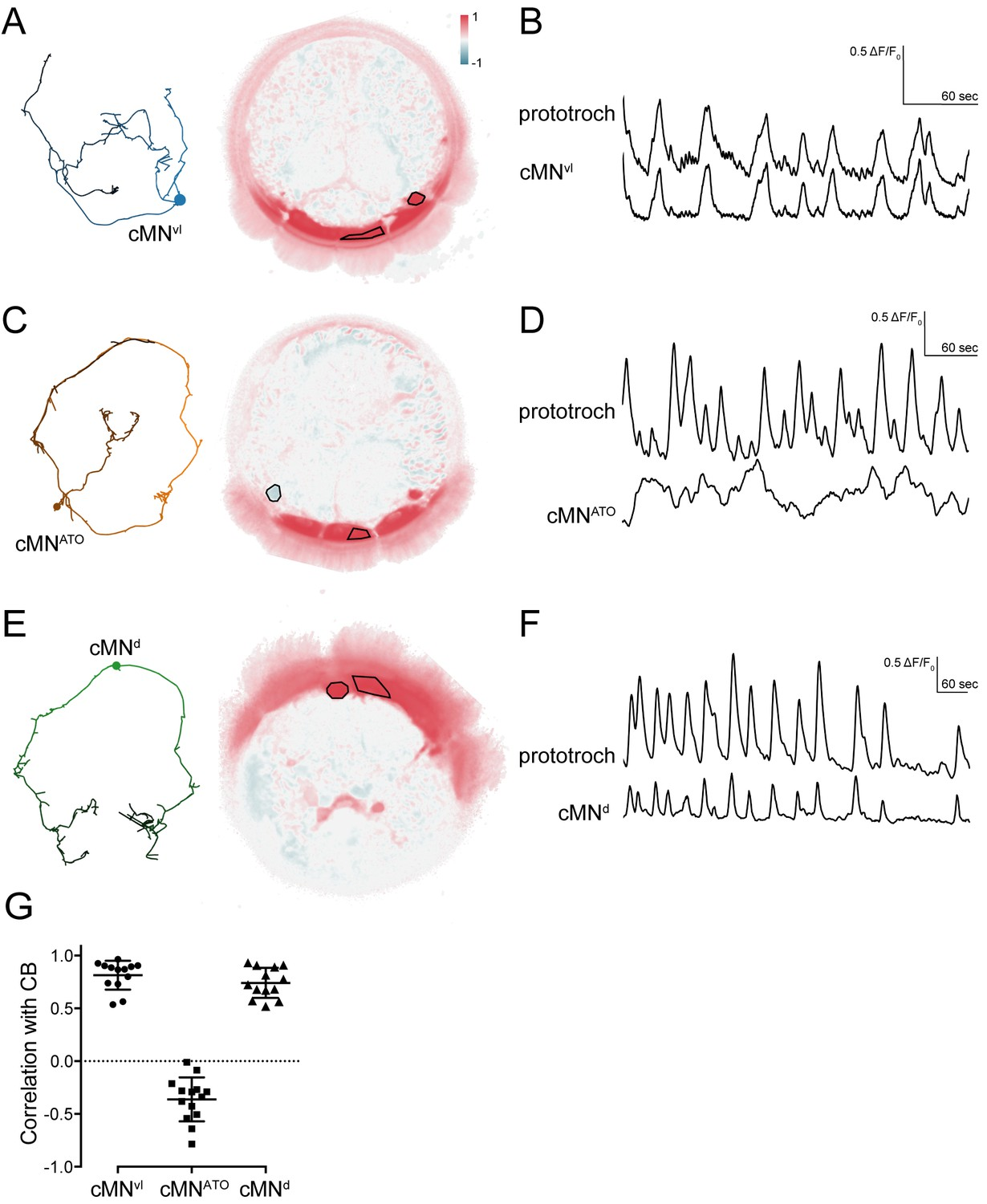 Ciliomotor Circuitry Underlying Whole Body Coordination Of Ciliary Circuits Schematic Diagram Source W J Prudhomme 73 Magazine Activity Cmn Neurons