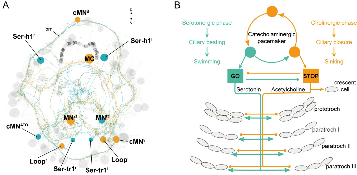 Ciliomotor Circuitry Underlying Whole Body Coordination Of Ciliary Aurora Ups Circuit Diagram The Stop And Go System Platynereis Larva