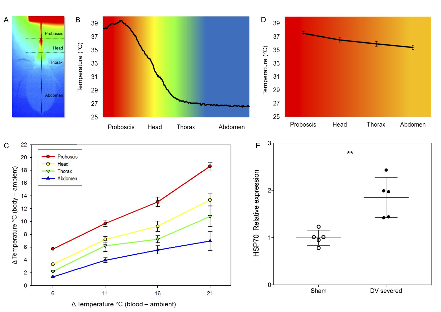 Countercurrent heat exchange and thermoregulation during