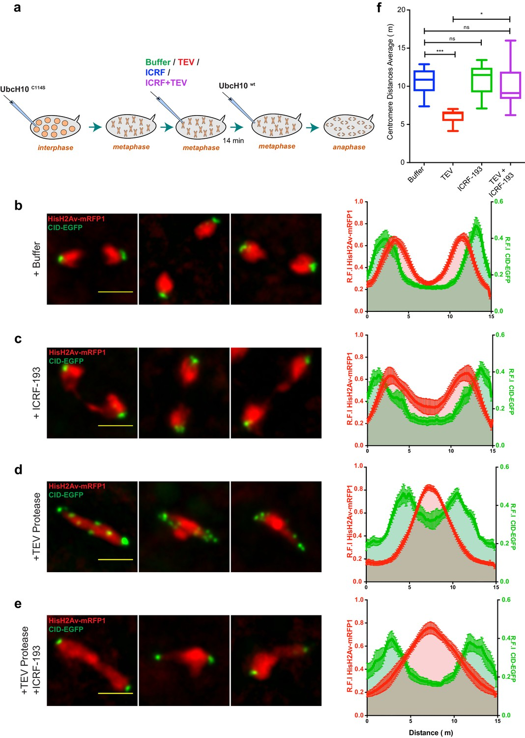 Condensin I Inactivation Results In TopoII Dependent Sister Chromatids Intertwines And Segregation Failure