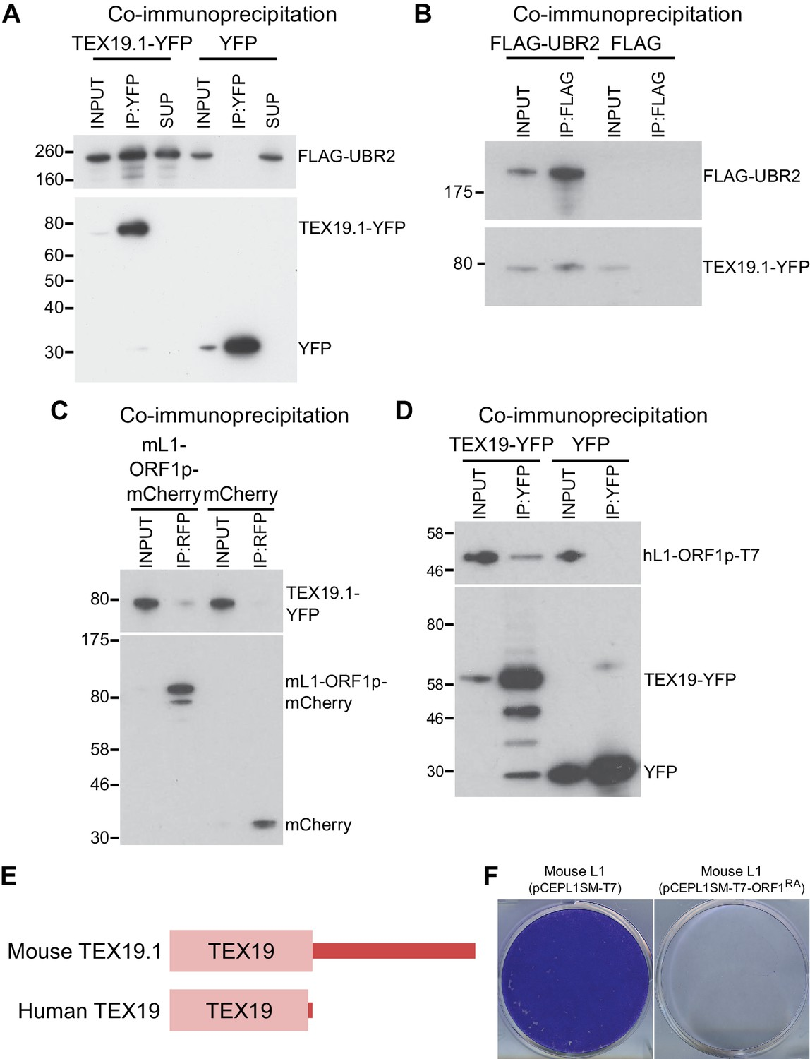Mobilization of LINE-1 retrotransposons is restricted by Tex19 1 in