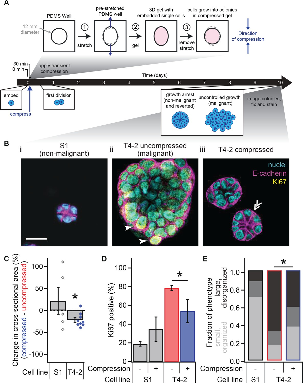 Transient External Force Induces Phenotypic Reversion Of Malignant Lincoln Sa 200 Parts Breakdown Compression Breast Epithelial Cells Grown In Laminin Rich Ecm Reverts The Phenotype