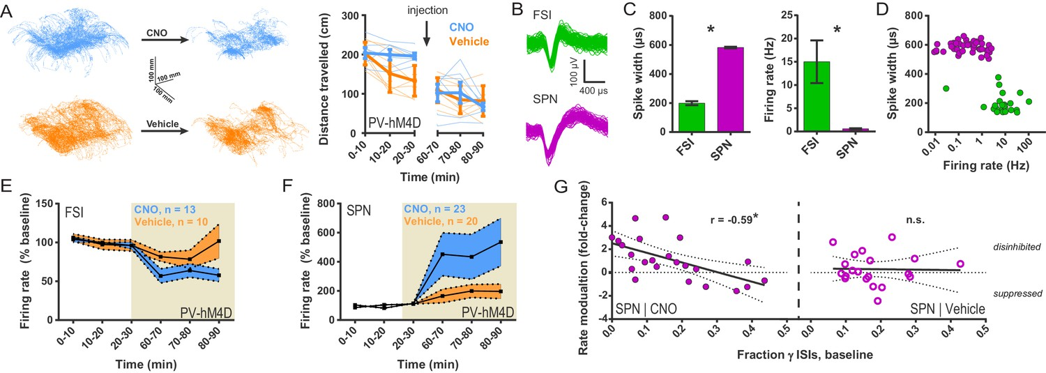 Striatal Fast Spiking Interneurons Selectively Modulate Circuit Pollak Lightduty Toggle Switch Onoff 12 Volt 10 Amp 6quot Wire Chemogenetic Inhibition Of Fsis In Dls Exerts A Strongly Disinhibitory Net Effect And Selective Excitatory On Output