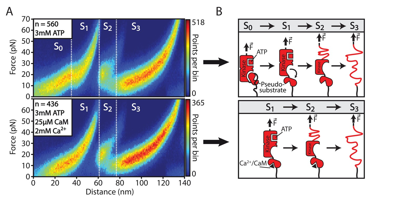 Increasing Evidence Of Mechanical Force As A Functional Regulator In
