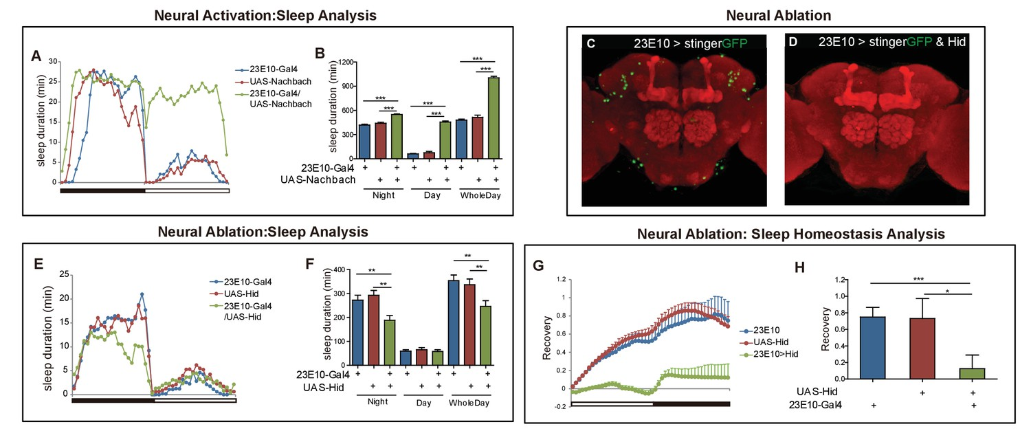 Sleep Homeostasis Regulated By 5ht2b Receptor In A Small Subset Of 3206 Cat Engine Diagram Effect Manipulating And Dfb Intersectional Neurons On