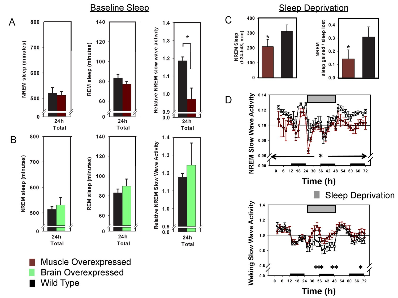 bmal1 function in skeletal muscle regulates sleep elife