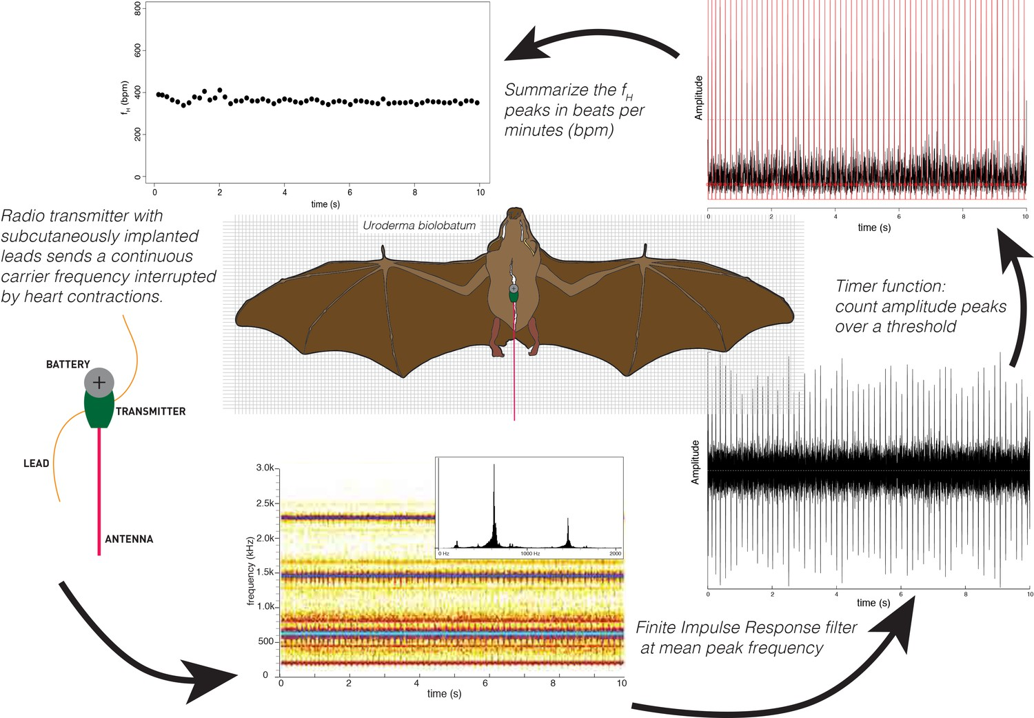 Processing Heart Rate Fh Radio Signals To Extract Rates Of Free Ranging Bats