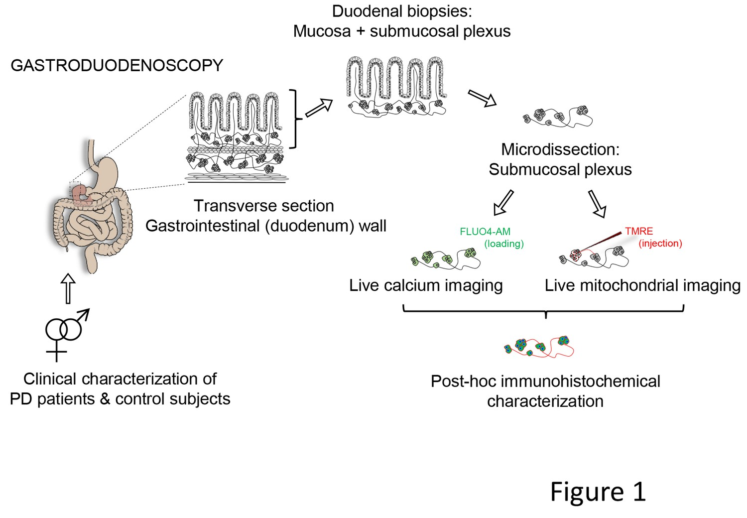 Live Calcium And Mitochondrial Imaging In The Enteric Nervous System Line Detector Indicator Circuit Schematic Representation Of Experimental Strategy