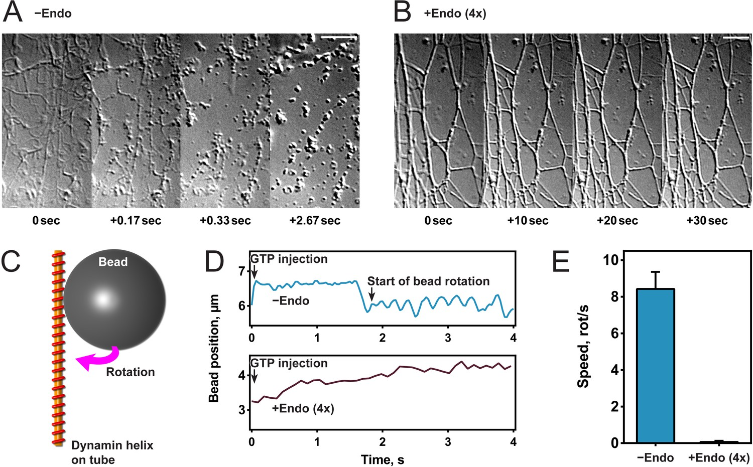 Structural Inhibition Of Dynamin Mediated Membrane Fission By V C Injection Original Per Box Endophilin Inhibits Constriction And