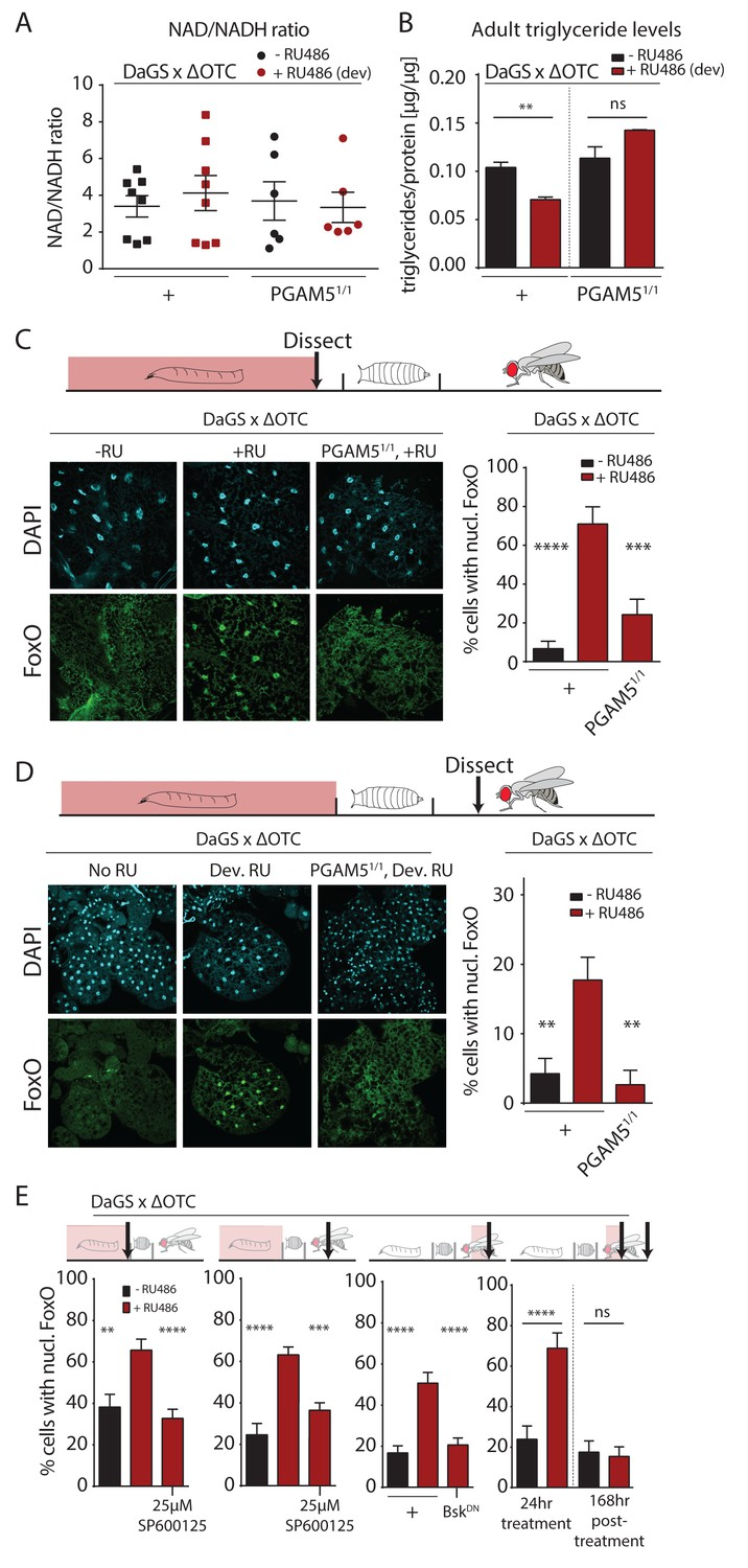 Developmental Mitochondrial Stress Changes Metabolism And Leads To Lasting Activation Of Foxo