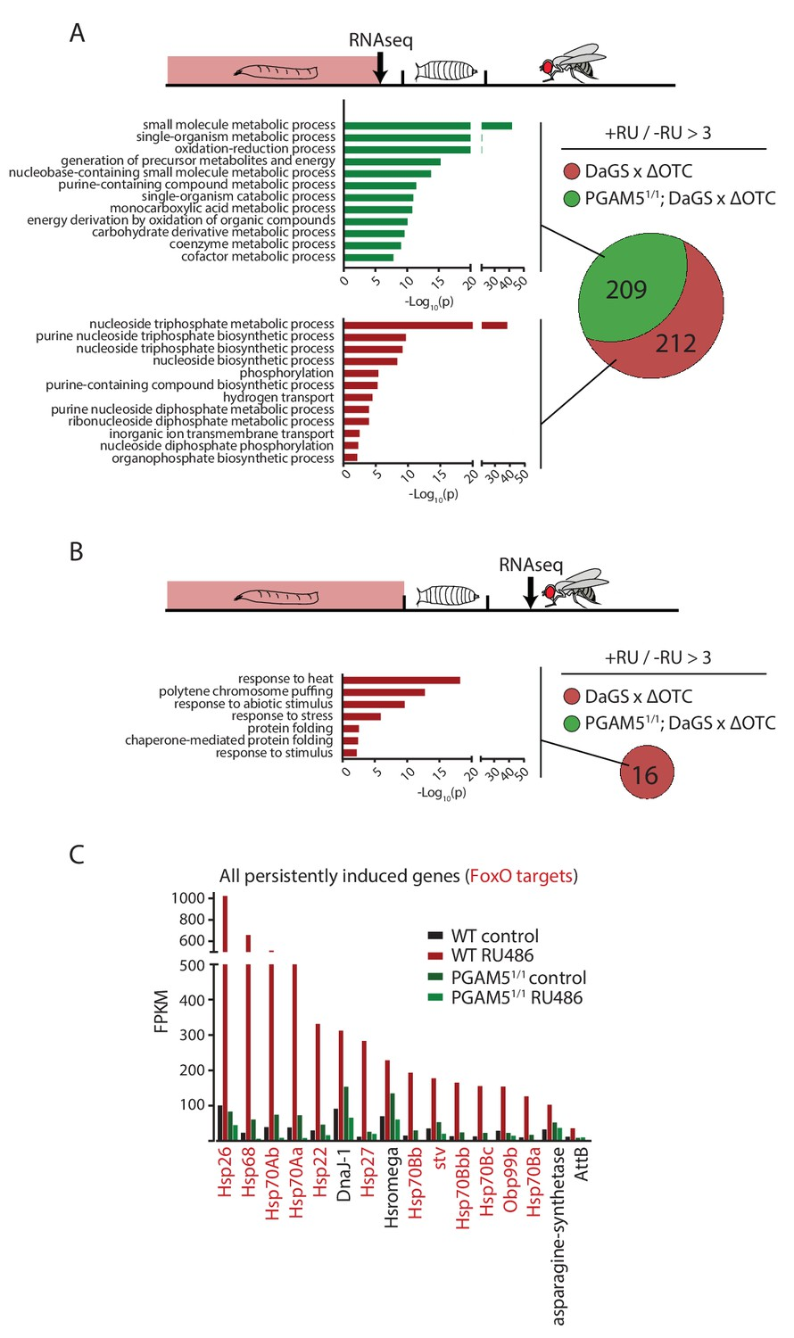 Lasting Transcriptional Activation Of Foxo Targets After Developmental Stress