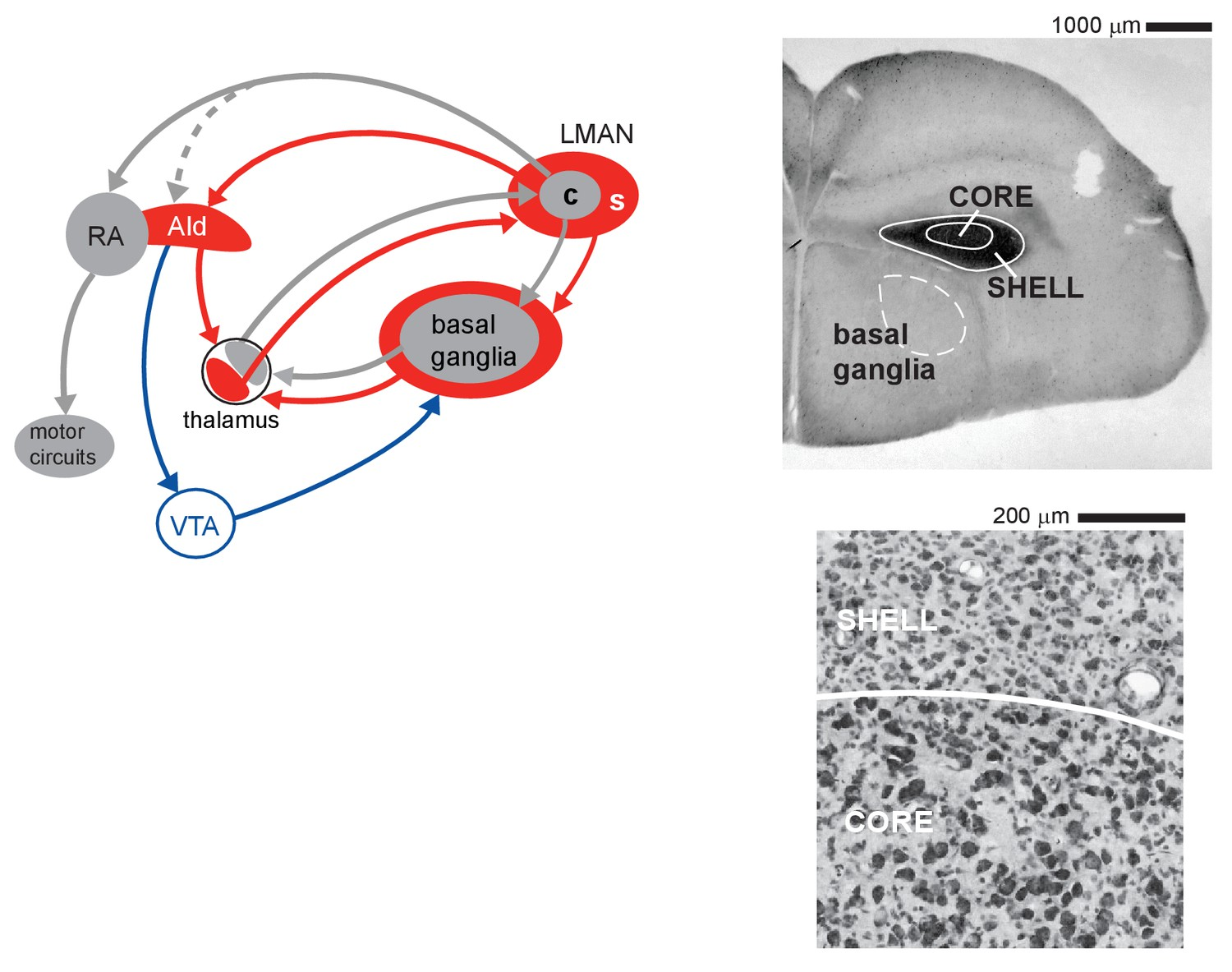 Neural Activity In Cortico Basal Ganglia Circuits Of Juvenile 800 Mobile Phone Logical Circuit Principle Diagram Controlcircuit For Vocal Learning Zebra Finches