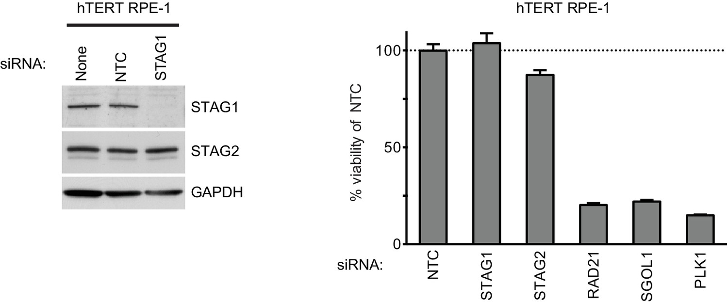 Synthetic Lethality Between The Cohesin Subunits Stag1 And Stag2 In Ntc Selection Criteria Steady State Current Depletion Of Does Not Reduce Viability Htert Rpe 1 Cells