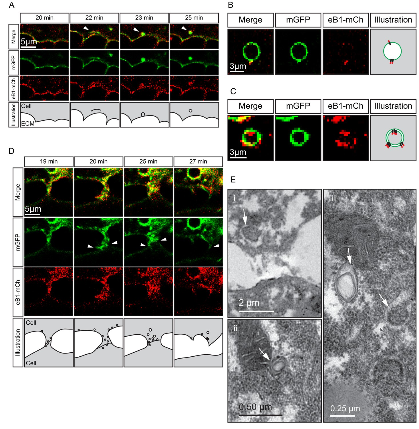 Ingression Type Cell Migration Drives Vegetal Endoderm Structure And Much More Interesting Information Macropinocytosis Trans Endocytosis Detachment