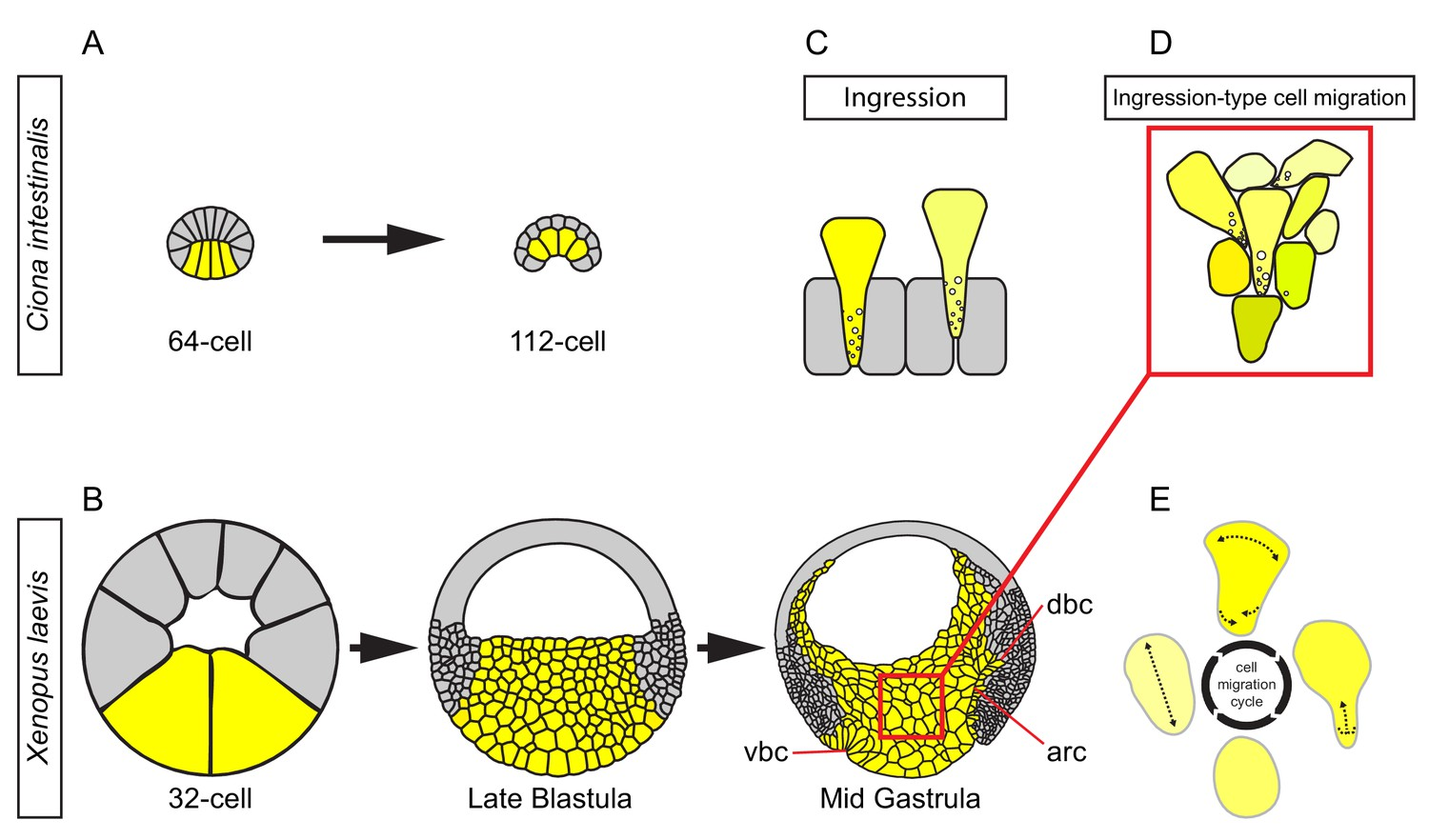 Ingression Type Cell Migration Drives Vegetal Endoderm Structure And Much More Interesting Information During X