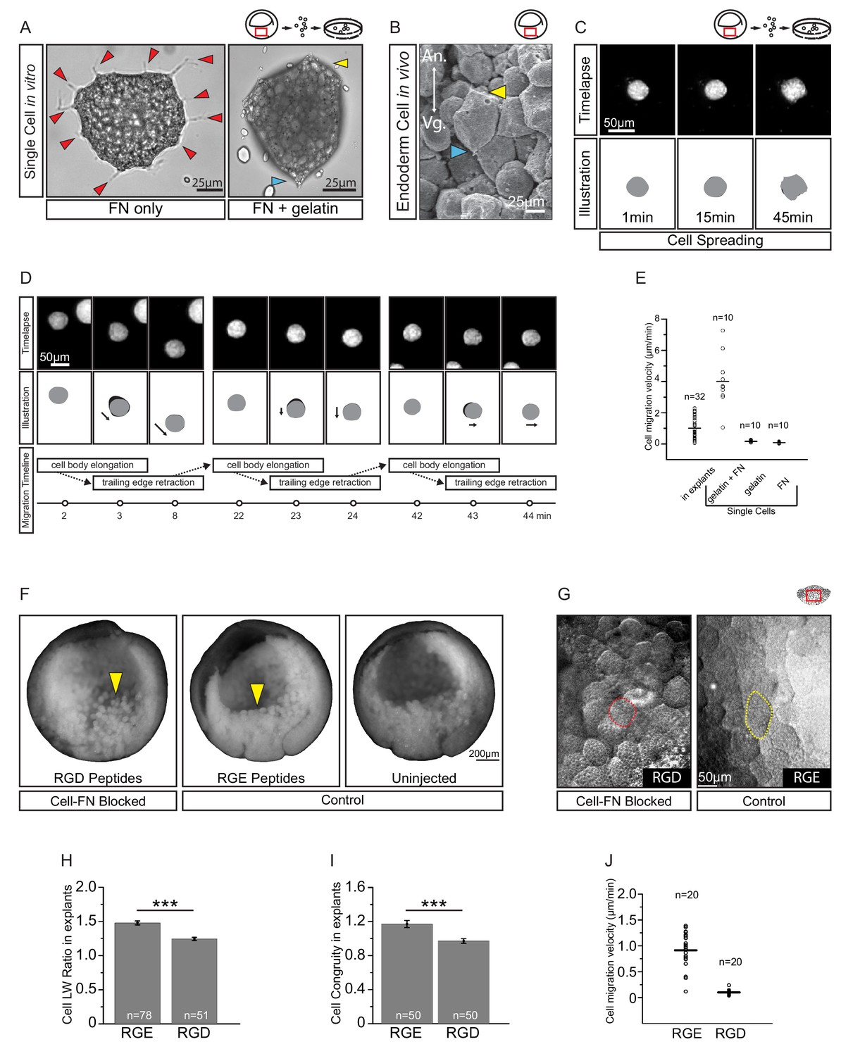 Ingression Type Cell Migration Drives Vegetal Endoderm Structure And Much More Interesting Information Fibronectin Is Required For