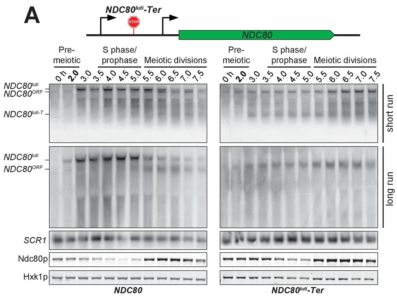 Kinetochore Inactivation By Expression Of A Repressive Mrna Elife Meyer E 47 Switch Wiring Diagram Premature Termination Ndc80luti Prevents Ndc80orf Downregulation