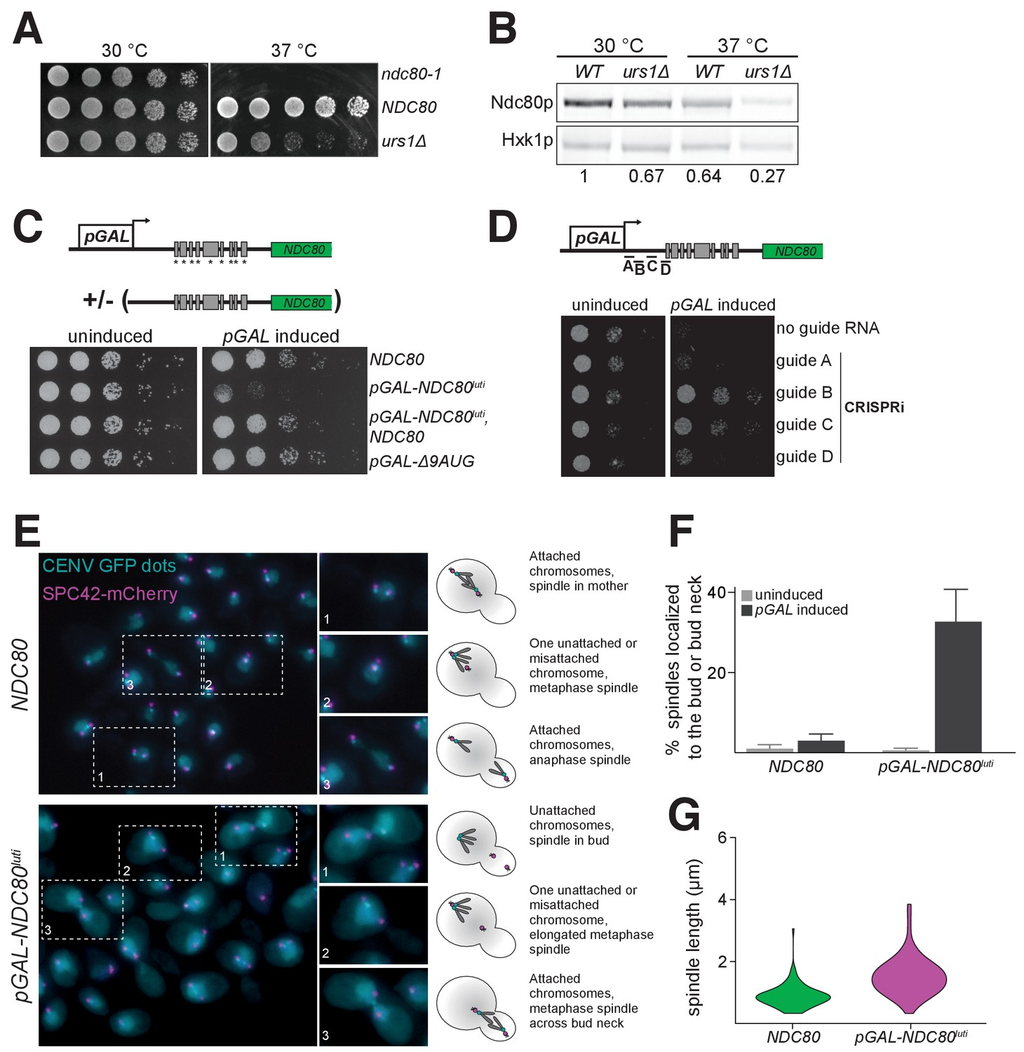 Kinetochore Inactivation By Expression Of A Repressive Mrna Elife Meyer E 47 Switch Wiring Diagram Misexpression Ndc80luti Outside Meiosis Causes Severe Growth Defects Due To Dysfunction