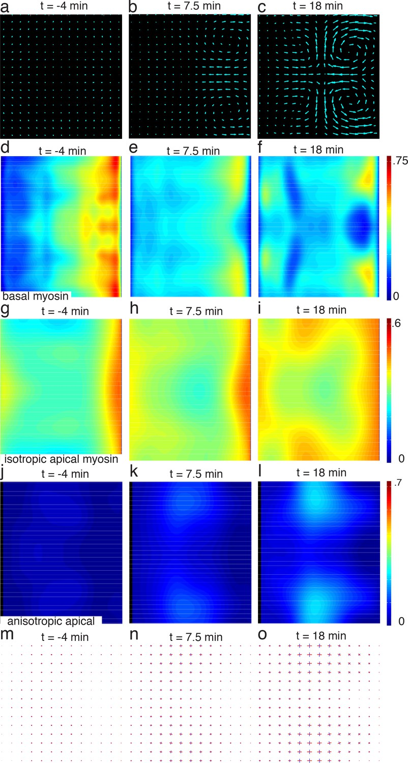 Global morphogenetic flow is accurately predicted by the